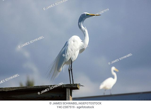 Great or American Egret