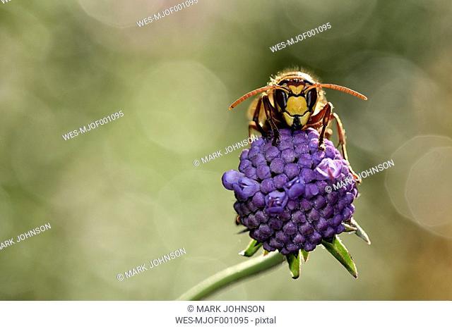 European hornet on a blossom