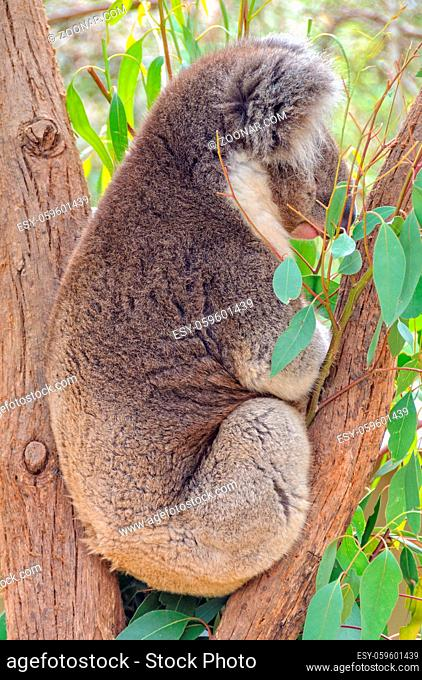 Koalas can sleep up to 18 hours a day to save energy - Healesville, Victoria, Australia