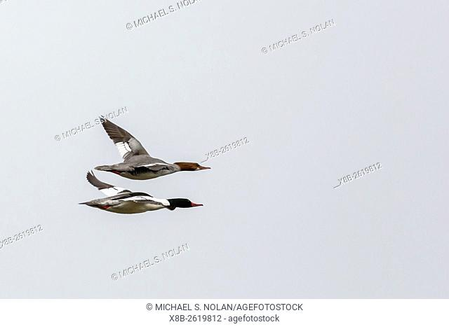 Common merganser pair, Mergus merganser, in flight in Jackson Narrows Provincial Park, British Columbia, Canada