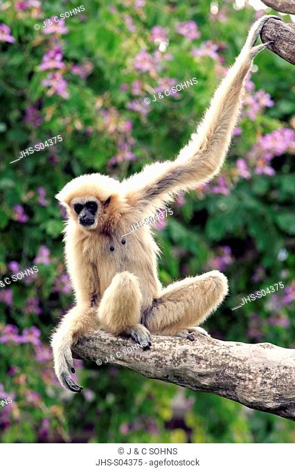 White Handed Gibbon, Hylobates lar, Asia, adult on tree