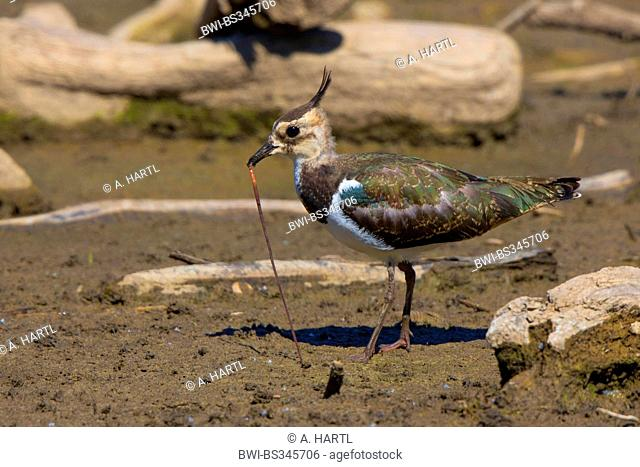 northern lapwing (Vanellus vanellus), pulling an worm out of the mud, Germany, Bavaria, Lake Chiemsee