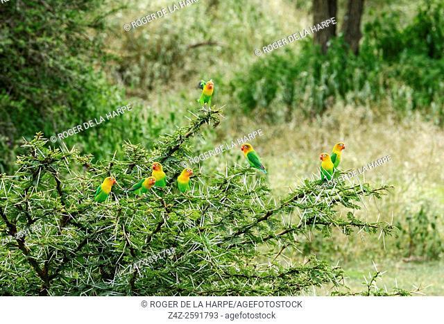 Fischer's Lovebird (Pavel Chonya) flock. Ngorongoro Conservation Area (NCA). Tanzania