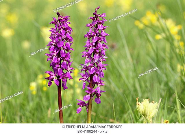 Early-purple Orchid (Orchis mascula) flowering, amidst Common Cowslip (Primula veris), Hesse, Germany