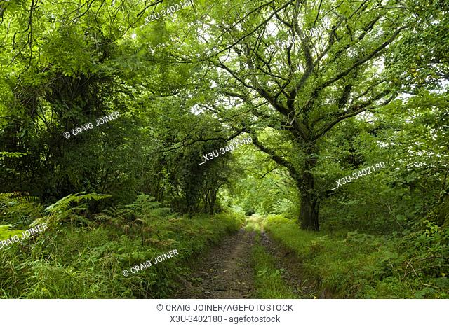 Pathway though woodland on Shute Shelve Hill in the Mendip Hills Area of Outstanding Natural Beauty, Somerset, England