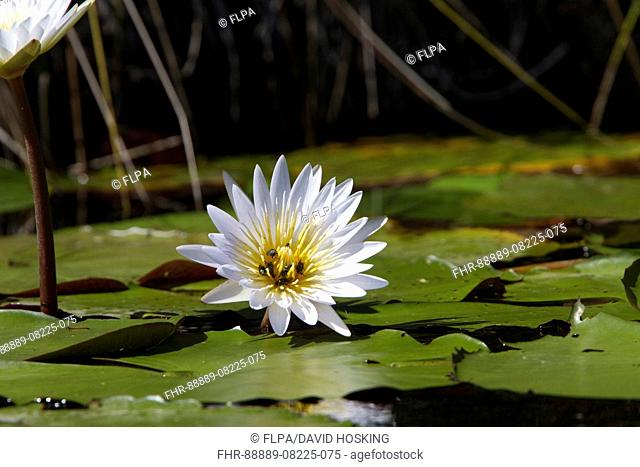 Nymphaea lotus, the white water lily, or white lotus which has night-blooming white or cream flowers and is widespread in tropical Africa to southern Afr