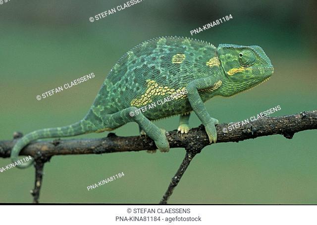 Chameleon Chamaeleo - Nakuru National Park, Kenya, Africa