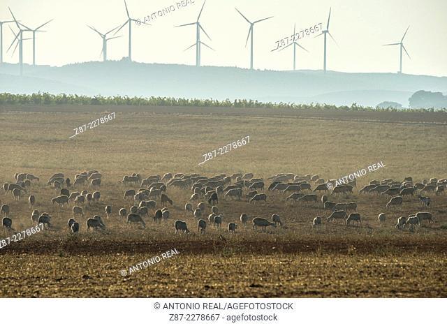 Flock and wind farm, Almansa, Albacete province, Castilla-La Mancha, Spain