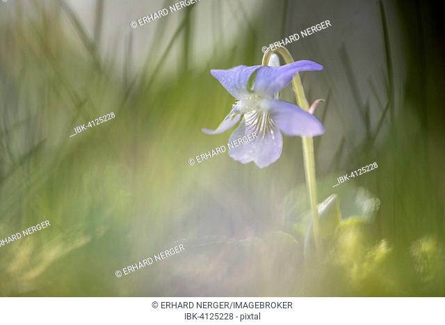Heath dog-violet (Viola canina), Emsland, Lower Saxony, Germany