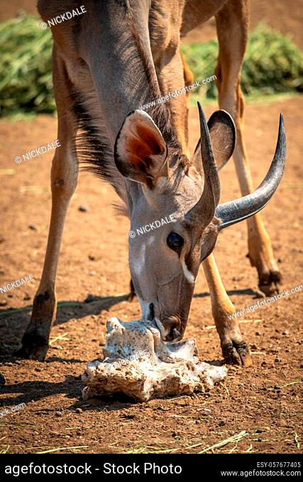 Close-up of male greater kudu with salt