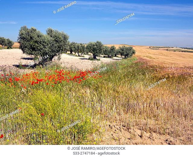 Olive trees in the Arenales in Pinto. Madrid. Spain. Europe