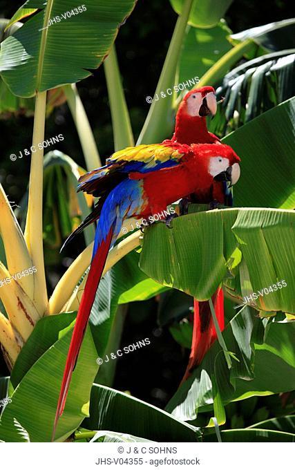 Scarlet Macaw,Ara macao,Roatan,Honduras,Caribbean,Central America,Latin America,two adults banana plant