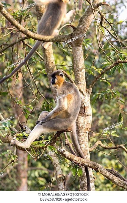 South east Asia, India,Tripura state,Trishna wildlife sanctuary,Capped langur (Trachypithecus pileatus)