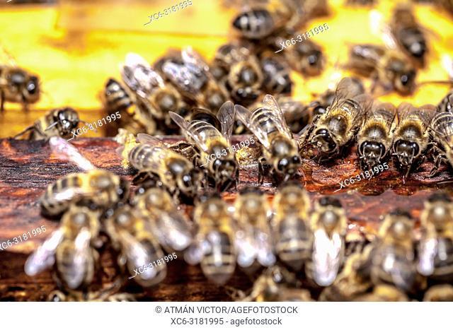 Apis mellifera honey bees. Tenerife, Canary Islands, Spain