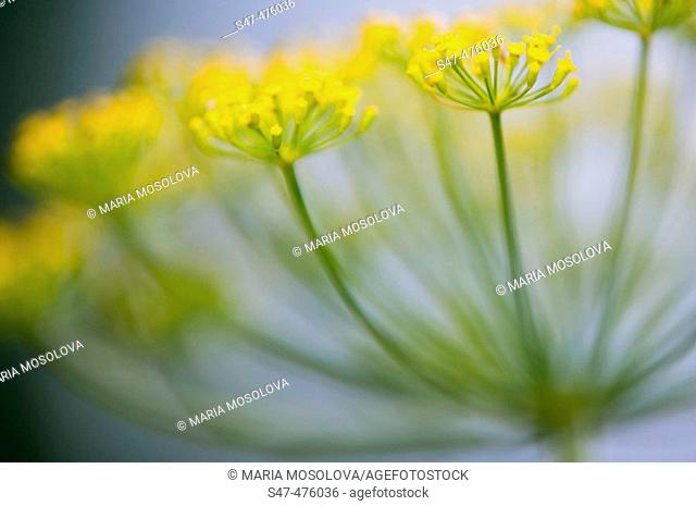 Dill herb in bloom (Anethum graveolens). Maryland, USA