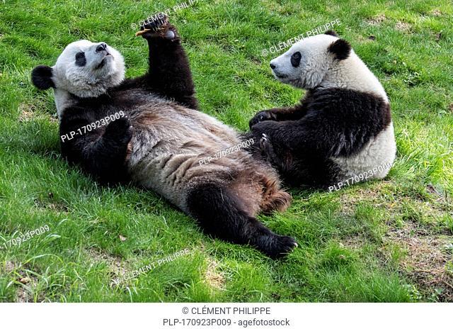 Young giant panda (Ailuropoda melanoleuca) watching mother eating cookie in zoo