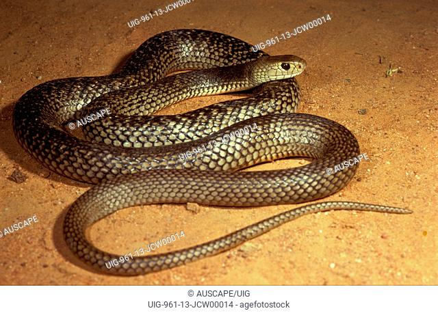 Eastern brown snake, Macquarie Marshes, New South Wales, Australia