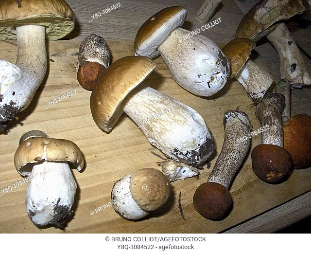 ceps and orange boletus, rennes forest, brittany, france