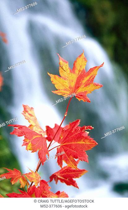 Vine maple and waterfall. Mount Hood. Oregon. USA