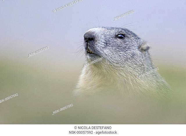 Alpine Marmot (Marmota marmota) looking at camera, Italy, Turin, Gran Paradiso NP