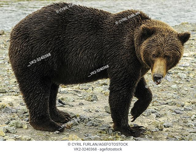 Female Grizzly Front Paw up Katmai National Park Alaska