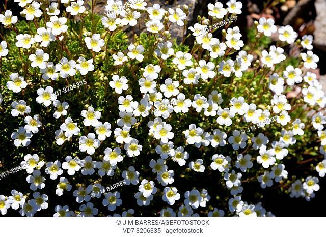 Herba de Sant Segimon (Saxifraga vayredana) is a perennial herb endemic to Montseny Biosphere Reserve, Barcelona province, Catalonia, Spain