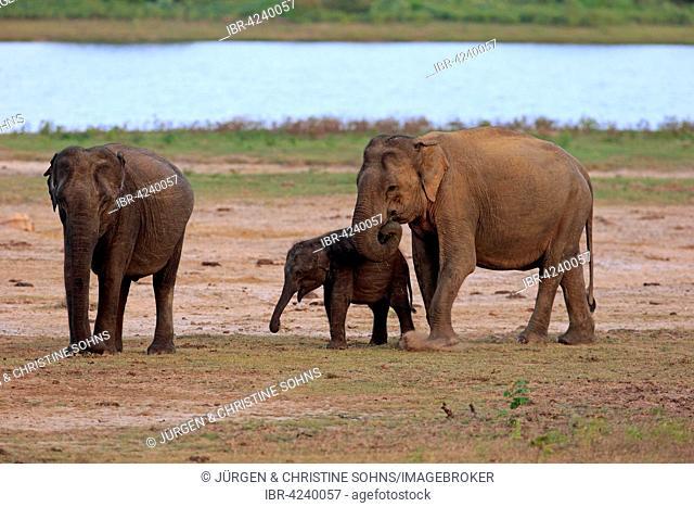 Sri Lankan elephant (Elephas maximus maximus), mother with calf, eating, female, group, Yala National Park, Sri Lanka