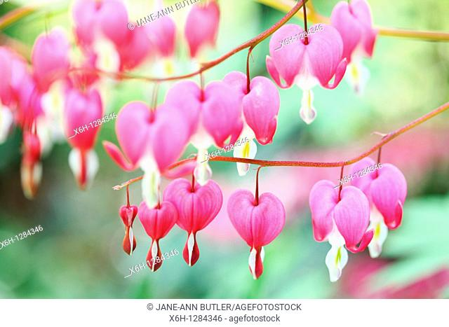 Wonderful Pink Bleeding Heart Stems in Spring, Flowering Through Summer