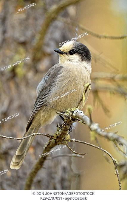 Gray jay (Perisoreus Canadensis), Queen Elizabeth Terriotrial Park, Northwest Territories, Canada