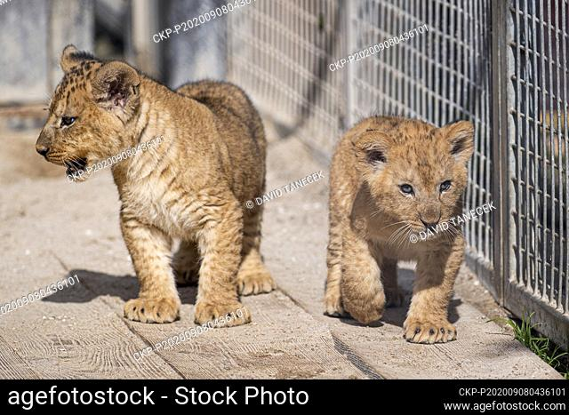 The Barbary lion cubs, born on July 5, under supervision of their mother Khalila, explore for the first time their outdoor enclosure in the Safari Park Dvur...