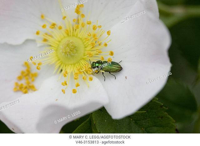 Jewel Beetle, Anthaxia fulgurans on a dogrose