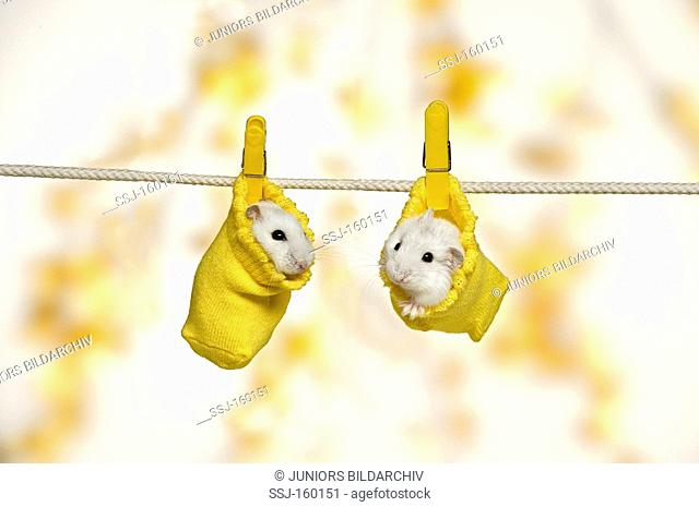 two Dzhungarian Dwarf Hamsters in socks