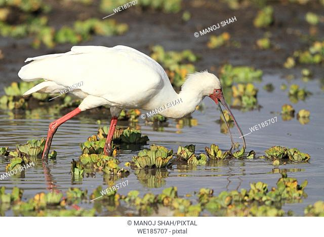 Long spoon shaped bill helps the African spoonbill to to fish in the marshy water, Masai Mara National Reserve, Kenya