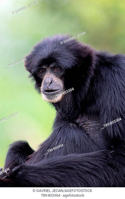 GibbonLars Gibbon