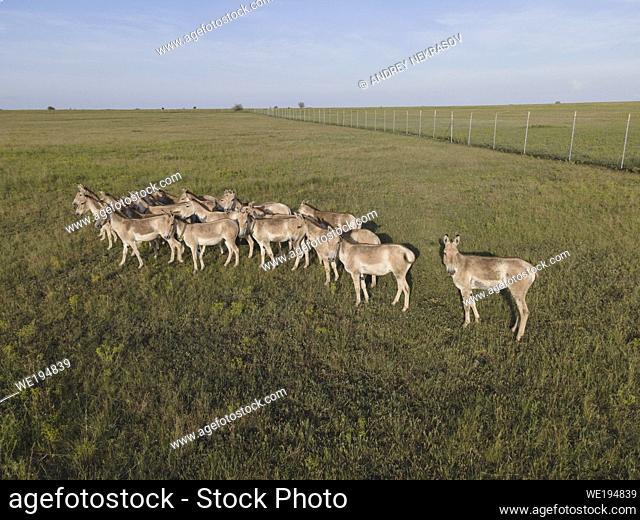 TARUTINO STEPPE, ODESSA OBLAST, UKRAINE - JUNE 18-19, 2020: Rewilding Ukraine released herd of Transcaspian wild ass (Equus hemionus kulan) for acclimatization...