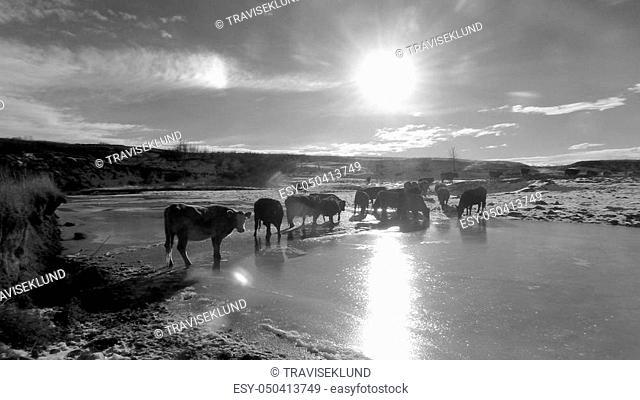 Cattle crossing frozen creek in winter