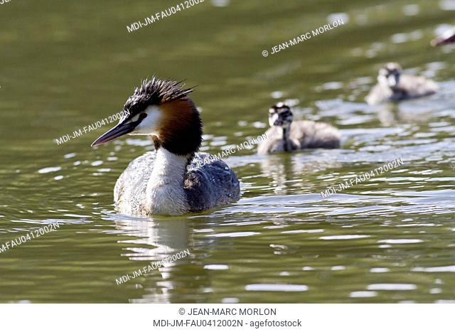 Fauna - Bird - Great crested grebe and its young on a pond