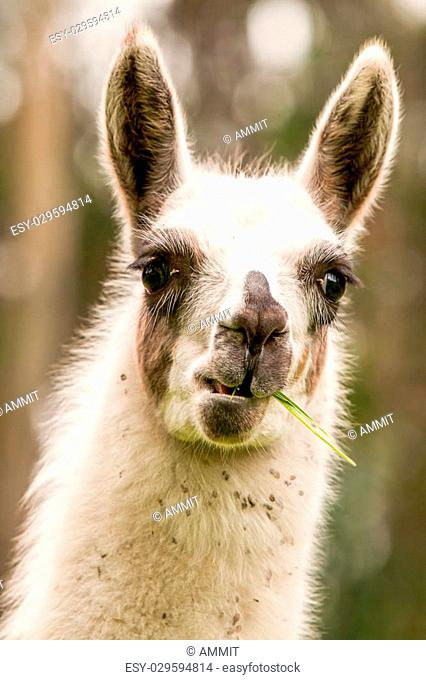 The Llama Is A South American Camelid Widely Used As A Pack And Meat Animal By Andean Cultures Since Pre Hispanic Times