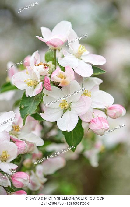 Close-up of apple (Malus domestica) blossoms in spring