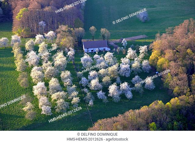 France, Doubs, Abbevillers, cherry blossoms in an old orchard and farm
