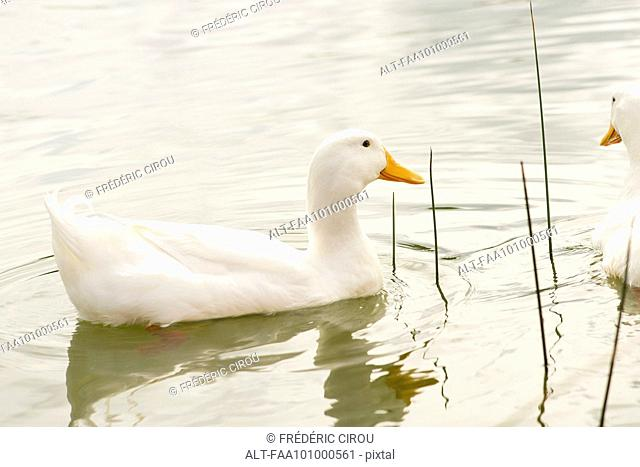 White ducks on pond