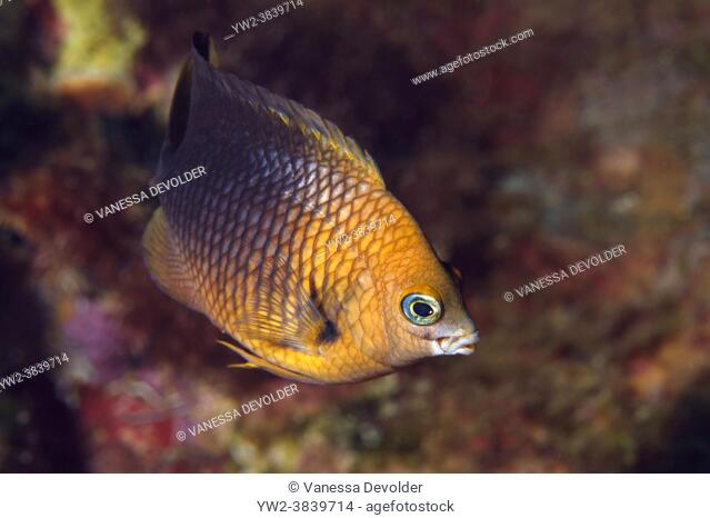 Damselfish in the Caribbean sea around Bonaire
