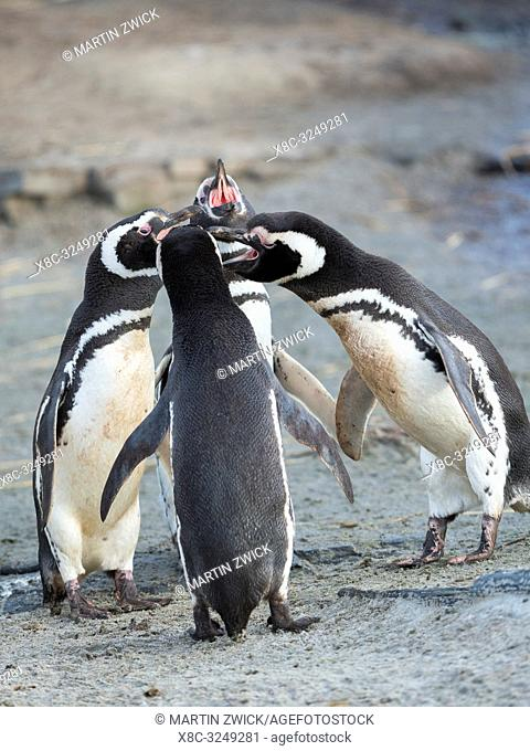 Social interaction and behaviour in a group. Magellanic Penguin (Spheniscus magellanicus). South America, Falkland Islands, January