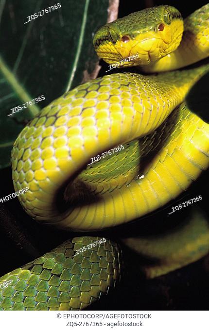 Trimeresurus Gramineus. Bamboo Pit Viper. Venomous. Rajmachi Fort, Pune, Maharashtra, India
