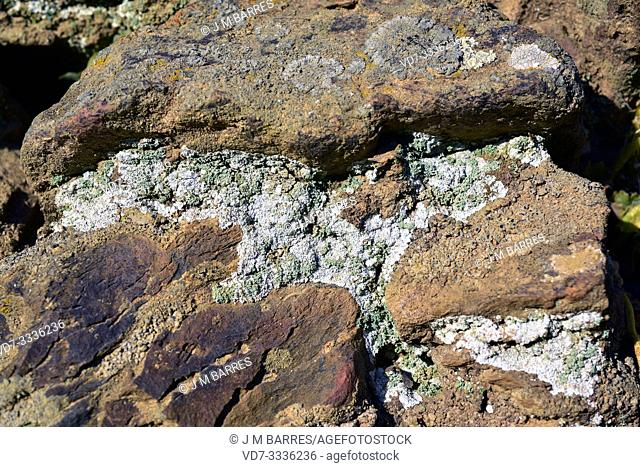 Leprocaulon microscopicum is a leprose lichen. This photo was taken in La Albera, Girona province, Catalonia, Spain