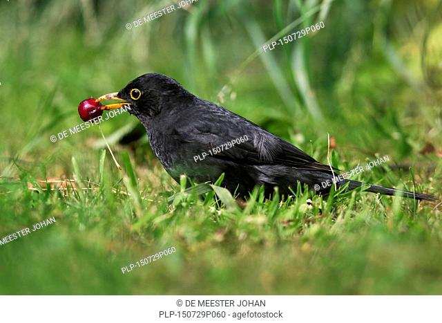 Common blackbird (Turdus merula) male eating cherry on the ground in garden