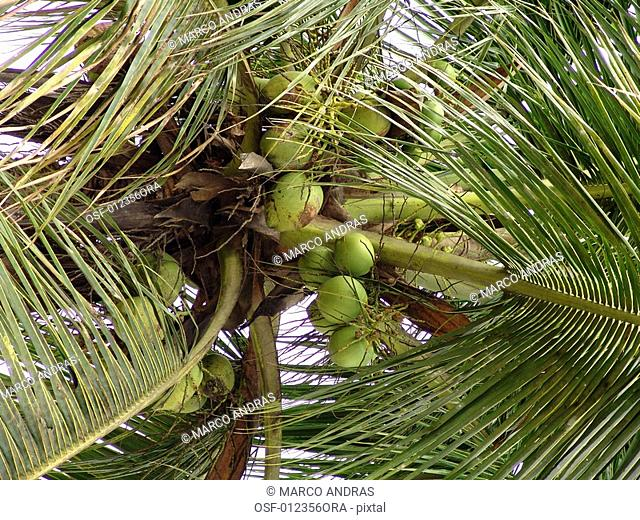 cocoa coconut tree fruits growing
