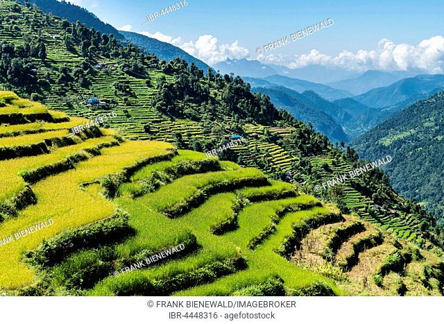 Agricultural landscape, green rice terraces and barley fields in Upper Modi Khola valley, Landruk, Kaski District, Nepal