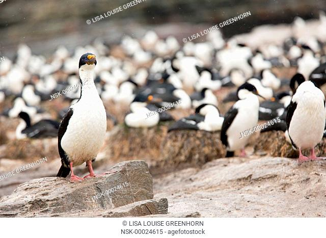 King Cormorant (Phalacrocorax atriceps) standing proudly at colony, Falkland Islands, Sea Lion Island