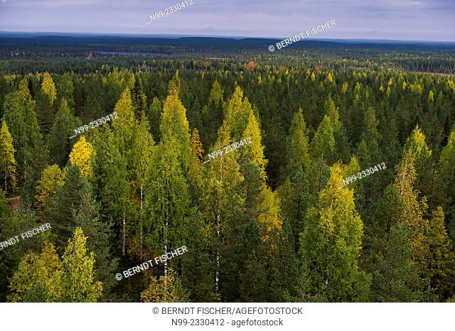 Boreal pinewood with birches and aspens, autumn colours, Finland